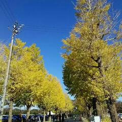 風景 伊勢神宮工作所のイチョウ並木