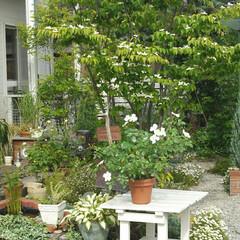 ガーデニング/ヤマボウシ/シンボルツリー 我が家のシンボルツリー、ヤマボウシ~ 写…