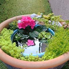 メダカ/ビオトープ 睡蓮鉢の中にバケツを埋めて箱庭のように小…