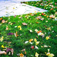 北海道/朝露/観光/復興/秋/イチョウ/... 北海道の冷えた朝、朝露とともに秋の落し物…(1枚目)