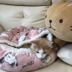 子猫/モフモフ/ペット/猫/にゃんこ同好会 あったかでしゅ😴