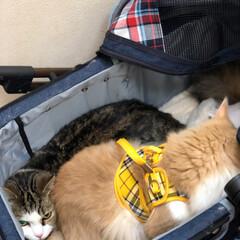 猫の健康診断/LIMIAペット同好会/にゃんこ同好会 海とタイガを診てもらうため病院へ🏥 ふう…
