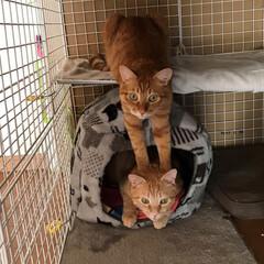 兄弟猫/にゃんこ同好会/なかよし兄弟/保護ねこ/ペット/猫 お客さん凝ってますニャ~  なぜがこの体…