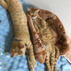 なかよし兄弟/保護ねこ/ペット/猫 おはようございます♪ 虎之助&茶々丸の真…