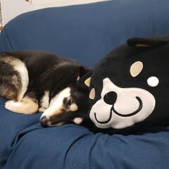 柴犬/しまむら/しばクッション/黒柴犬/仲良しわんこ/フォロー大歓迎 しまむらのしばいぬさんと一緒に 寝てまし…