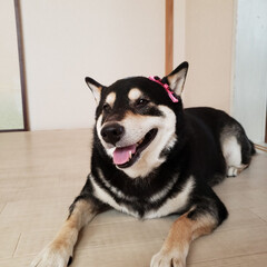 柴犬/黒柴犬/女の子/ハスキー/犬/ペット/... たま~にハスキーに間違えられ、 たま~に…
