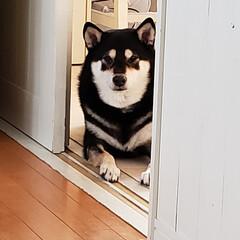 柴犬/黒柴/柴犬LOVE/ご飯 わが家の愛犬、ころ美さんです。 ご飯を待…(1枚目)