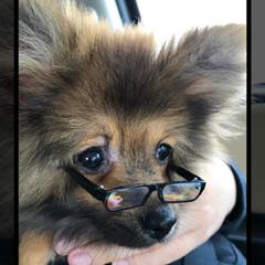 子犬/ポメラニアン/ペット サングラスが老眼鏡になっちゃったよ~(笑)
