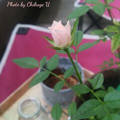暮らし ウチのミニ薔薇が咲きました。それだけで幸…(1枚目)