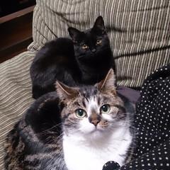 LIMIAペット同好会/ペット/猫/にゃんこ同好会/うちの子自慢 キジ白の長男めんち 黒猫の次男くにお で…(6枚目)