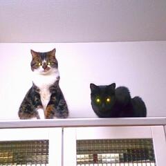LIMIAペット同好会/ペット/猫/にゃんこ同好会/うちの子自慢 キジ白の長男めんち 黒猫の次男くにお で…(2枚目)