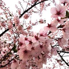 弘前方式の桜の栽培/桜守/弘前さくらまつり/春のフォト投稿キャンペーン/ありがとう平成/GW/... ✨弘前さくらまつり🌸✨ 弘前公園の桜の木…