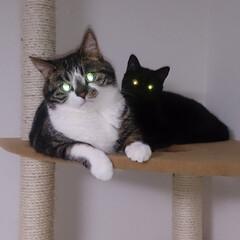 LIMIAペット同好会/ペット/猫/にゃんこ同好会/うちの子自慢 キジ白の長男めんち 黒猫の次男くにお で…(3枚目)