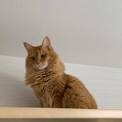 ペット/猫 今日は、高い所から… おはようございます…(2枚目)