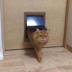 孫ちゃん真似る/猫ドア/ペット/猫 ミッキーの猫ドア🐱 何故か❓ 孫ちゃん二…