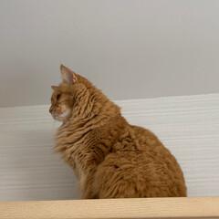 ペット/猫 今日は、高い所から… おはようございます…(4枚目)