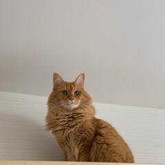 ペット/猫 今日は、高い所から… おはようございます…(1枚目)