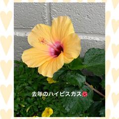 ハイビスカス🌺/にゃんこ大好き💕 おはようございます☀  ミッキー🐱のおっ…(2枚目)