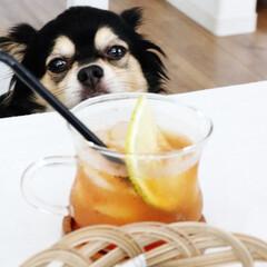 愛犬/チワワ/ブラックタン/ペット/自慢の息子/犬/... 「何かください!!!」と言わんばかりの …