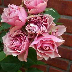 癒し/薔薇/植物/花/バラ/フォロー大歓迎/... お疲れ様😌💓の薔薇をどうぞ~⤴ピンク、白…