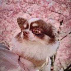 わんことお出かけ/犬とお出かけ/犬のいる生活/犬のいる暮らし/チワワ組/チワワ同好会/... 河津桜が満開🌸🌸🌸