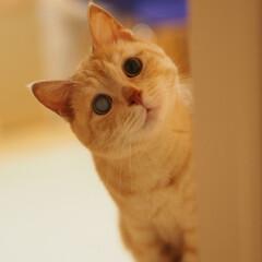 元野良猫/保護猫/猫/ねこ/にゃんこ/茶トラ/... こちらを不思議そうに覗いてる福ちゃん