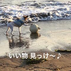 犬/函館/散歩/LIMIAおでかけ部/LIMIAペット同好会/わんこ同好会 お散歩中に大興奮♥~(◍•ڡ•◍)وヤッ…