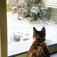 ネコ/冬/冬の一枚 初めて雪を見た時の様子です。 得体の知れ…