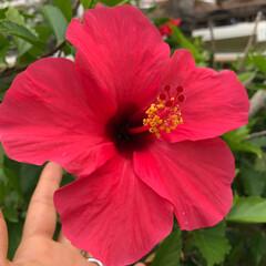 ハイビスカス/わたしのGW 沖縄と言えばハイビスカス!大きくて可愛く…