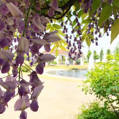 藤の花/おでかけワンショット ガーデンの藤の花の間から見る噴水も綺麗で…