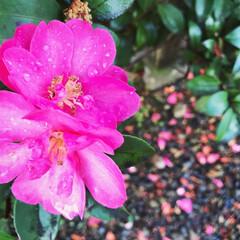ツバキ/春の一枚 雨の水滴がついたピンクのツバキ、落ちた花…