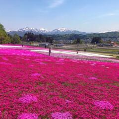 芝桜/おでかけワンショット 芝桜と越後三山が綺麗でした。 真っピンク…