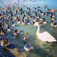 白鳥/春の一枚 白鳥がみんな飛び立ったのに、1羽だけ残っ…