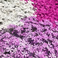 芝桜/おでかけワンショット 3色の芝桜。どれも綺麗で、3色になってる…