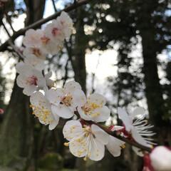 梅/春の一枚 梅。桜とはまた違って、花びらも丸くて淡い…
