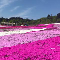 芝桜/おでかけワンショット 芝桜を見に行きました!この色どり綺麗!!