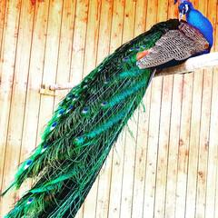 孔雀/平成最後の一枚 公園の小さな動物園での孔雀!私綺麗でしょ…