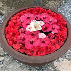 ハイビスカス/わたしのGW 沖縄の琉球村。ハイビスカスがぎっしり浮か…