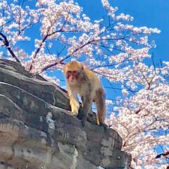 お猿さん/平成最後の一枚 猿山のお猿さんもぽかぽか陽気と桜の満開に…