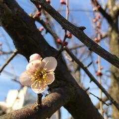 梅/春の一枚 庭に今季初の梅が咲きました!まだ天気予報…