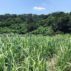 サトウキビ畑/わたしのGW 沖縄のサトウキビ畑。2年かけて伸びるよう…
