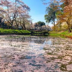 桜/平成最後の一枚 舞った桜もまた綺麗!ピンクの池綺麗だな~…