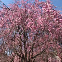 桜/平成最後の一枚 みごとな枝垂れ桜!青空とピンクが綺麗すぎ…