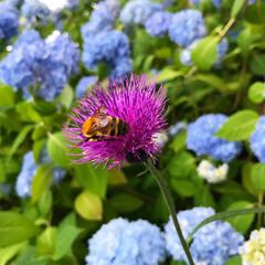 紅一点/おでかけワンショット あじさいの中に紅一点?!紫の花とハチが可…