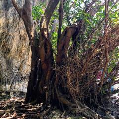 ガジュマルの木/わたしのGW 沖縄のガジュマルの木。根っこがすごく太く…