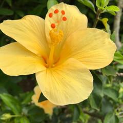 ハイビスカス/わたしのGW 沖縄と言えばハイビスカス!でも黄色のハイ…