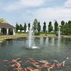 鯉/おでかけワンショット ガーデンの池に鯉が沢山いました。噴水との…