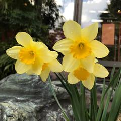 水仙/春の一枚 水仙も春らしい!身近な道に咲く花。可愛い!