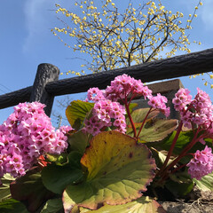 花/春の一枚 ピンクに黄色いお花がキレイ!よーやく青空…
