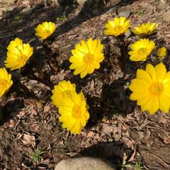 福寿草/春の一枚 庭に福寿草が咲きました!綺麗な黄色で春ら…